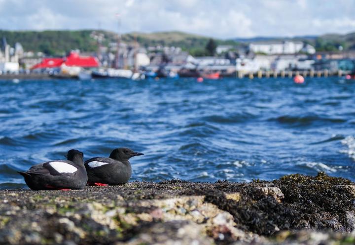 Seevögel bei Oban